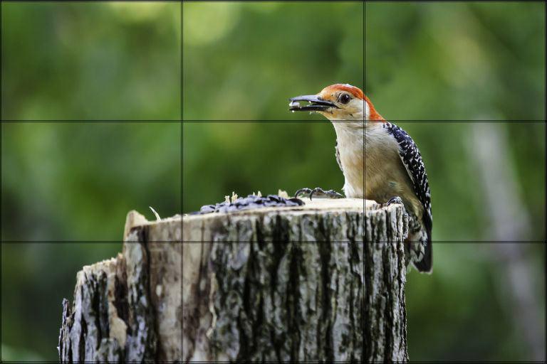 Reb-Bellied Woodpecker